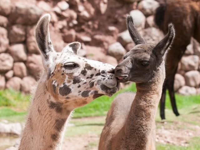 Baby llama nuzzling