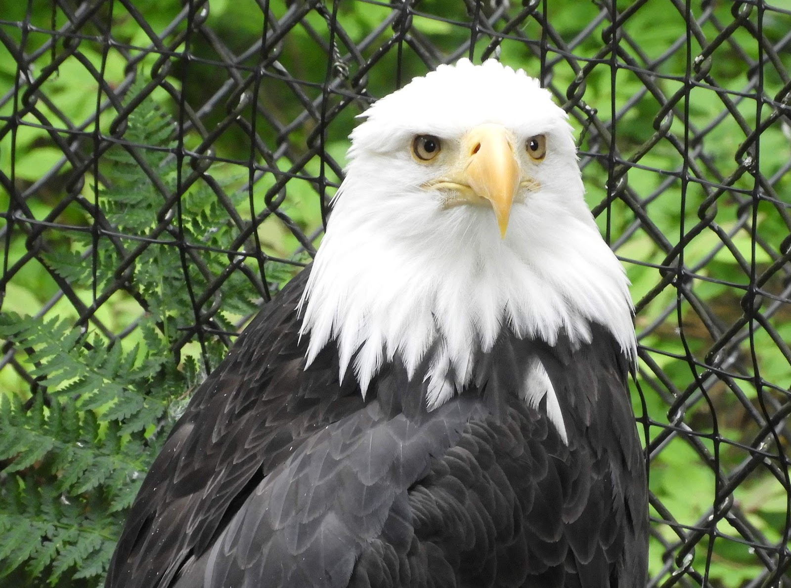 Bald eagle at Alaska Raptor Center, Sitka