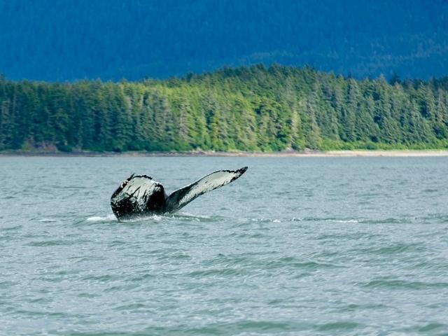 Humpback whale identified as Sasha in Auke Bay, Alaska