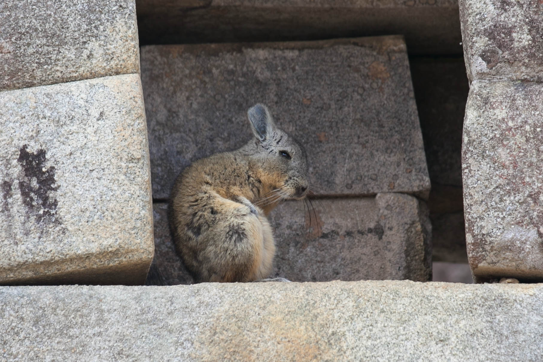 Viscacha at Machu Picchu