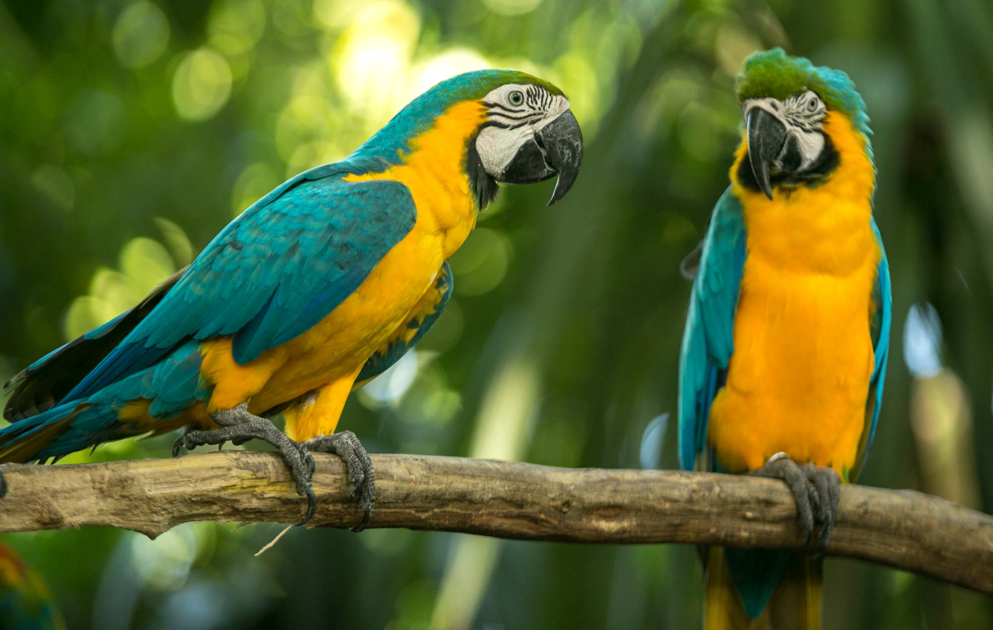 Blue-and-yellow macaws in Cartagena