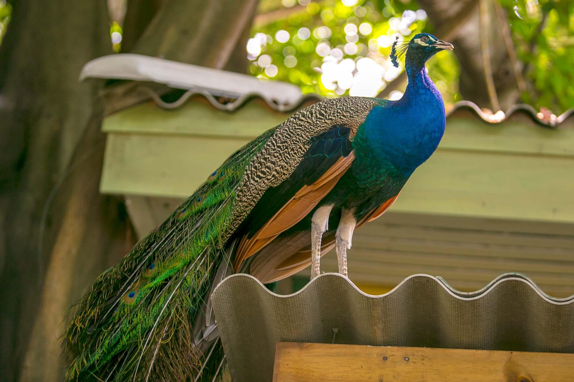 Peacock in Cartagena