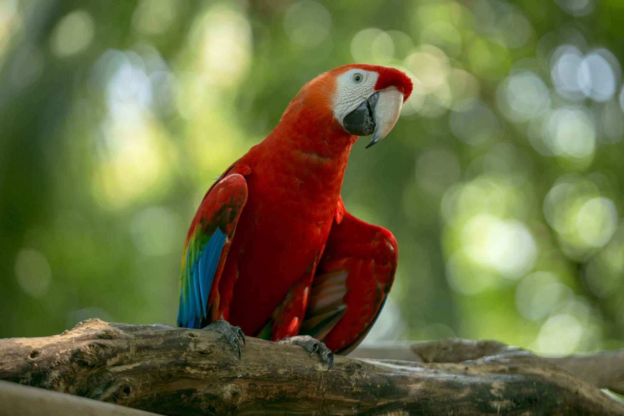 Scarlet macaw at Cartagena cruise port