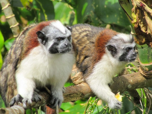 Pair of titi or Tamarin monkeys on Monkey Island