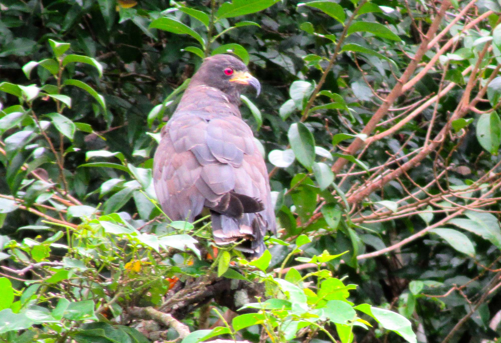 Snail kite hawk along Gatun Lake