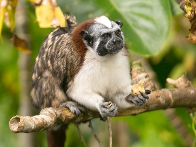 Titi or Tamarin monkey closeup on Monkey Island in Panama