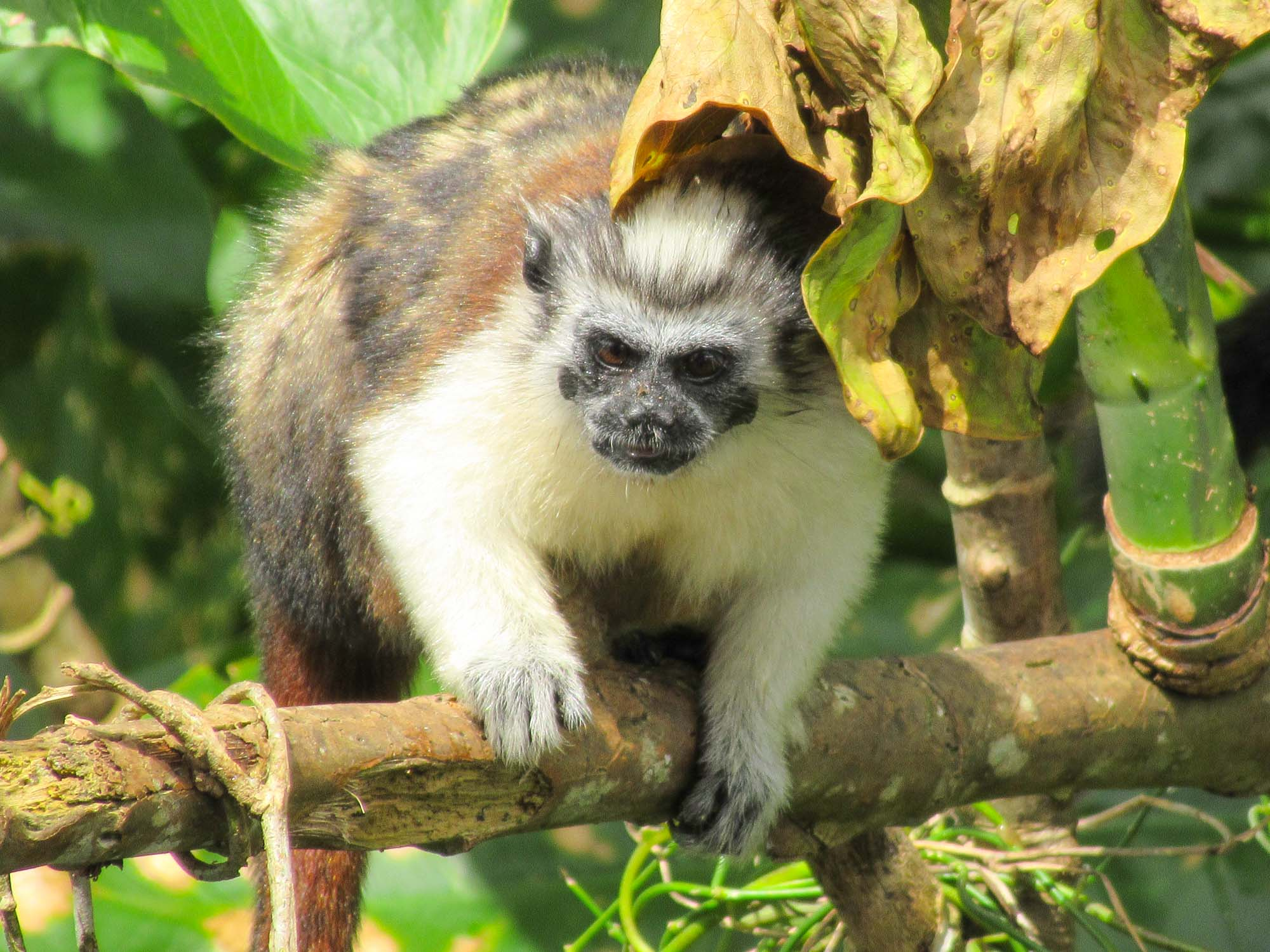 Titi or Tamarin monkey in tree on Monkey Island