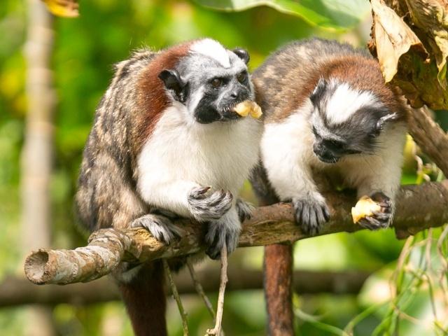 Titi or Tamarin monkeys enjoying treat on Monkey Island