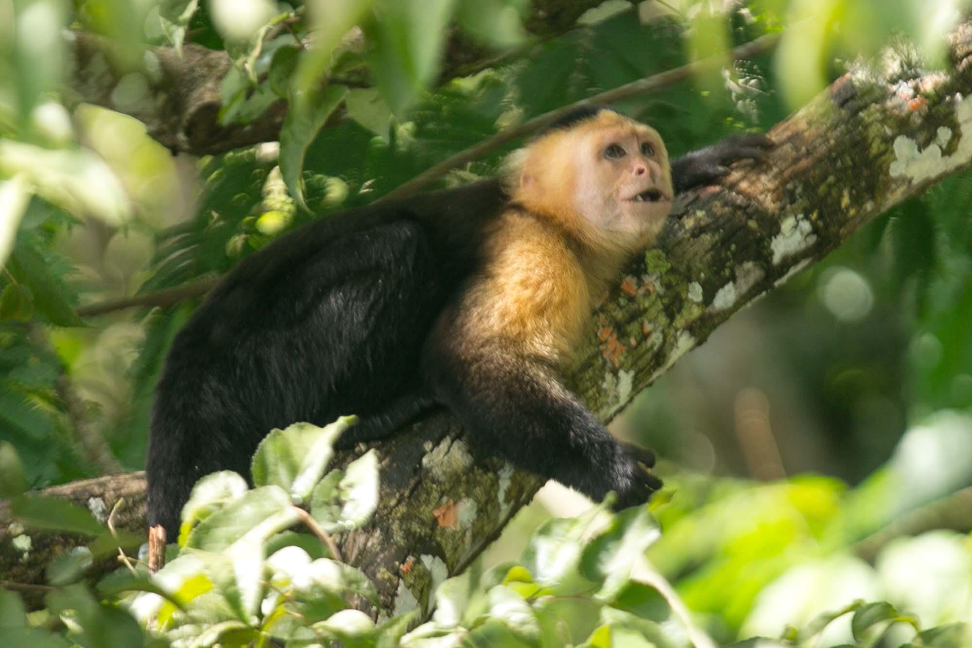 White faced capuchin on Monkey Island
