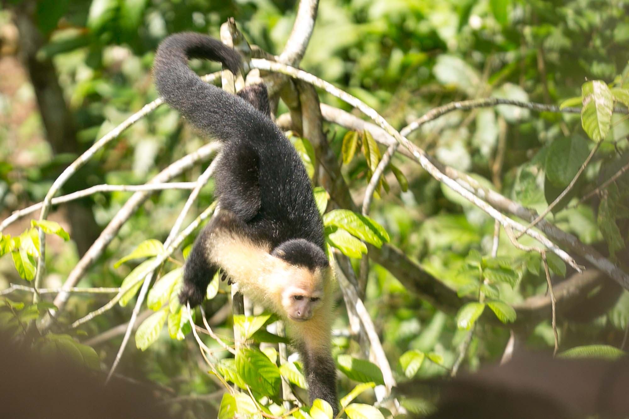 White faced capuchin approaching boat on Monkey Island, Panama