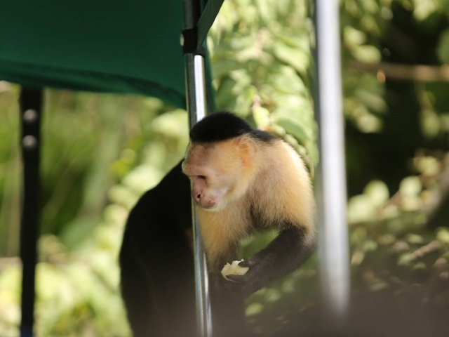 White faced capuchin coming onto boat on Monkey Island