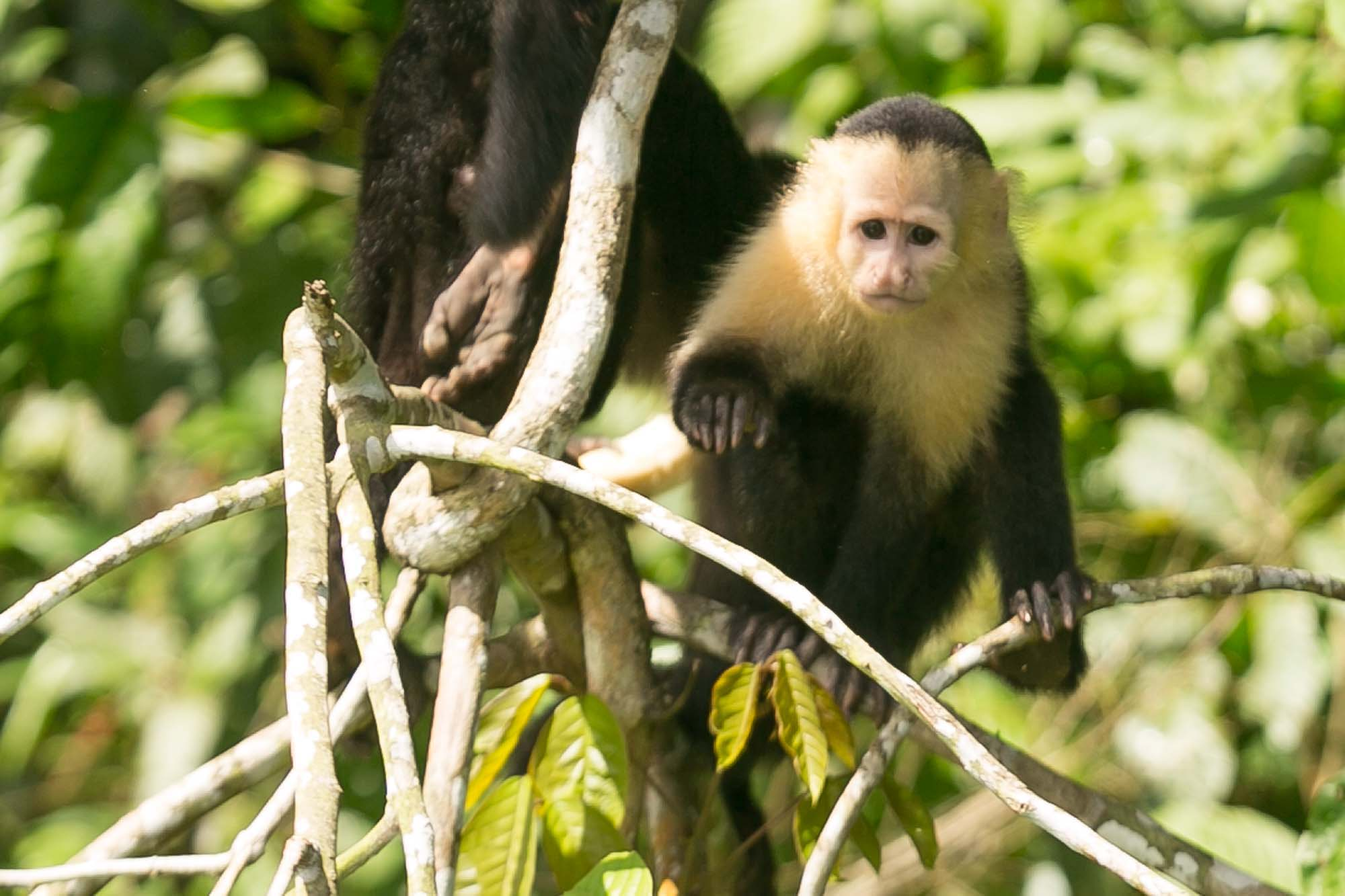 White faced capuchin in tree on Monkey Island