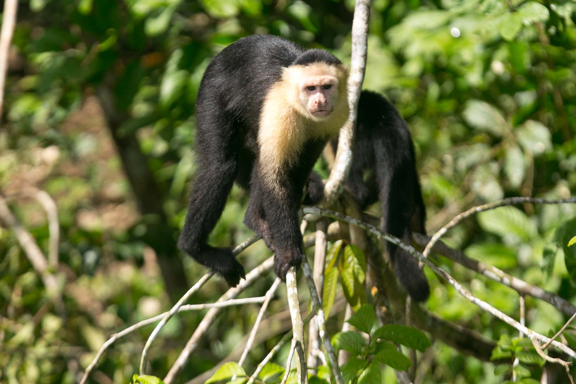 White faced capuchin on Monkey Island