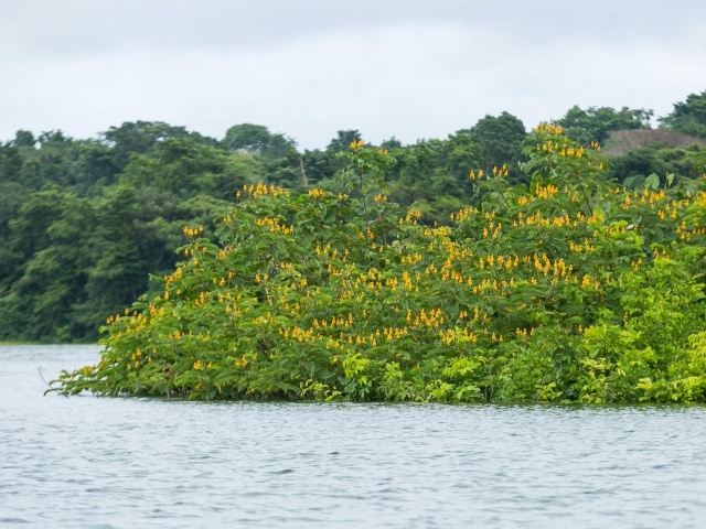 Wildflowers along Gatun Lake in Panama