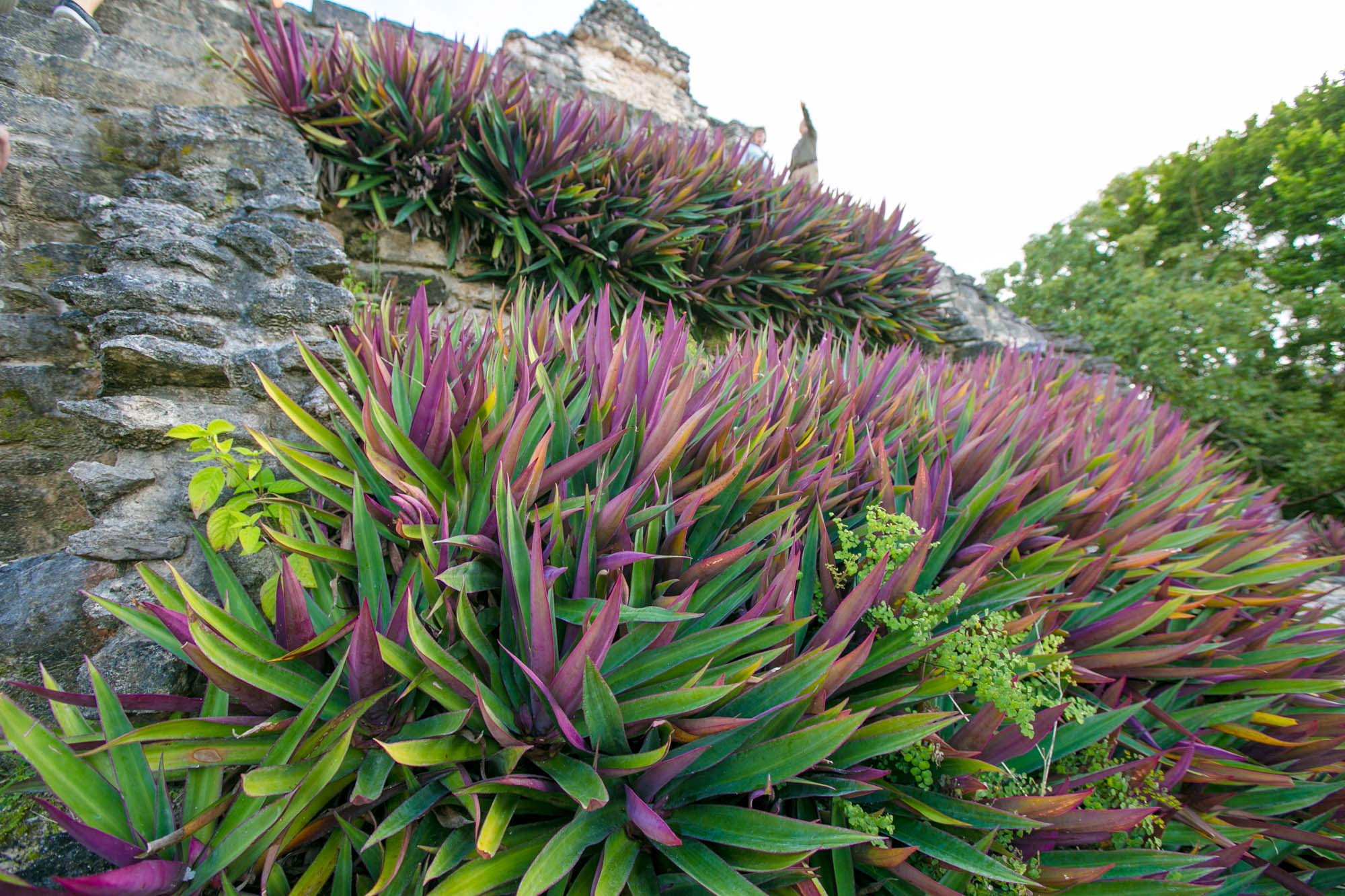 Plants on a stepped pyramid at the Mayan ruins of Dzibanche in Mexico