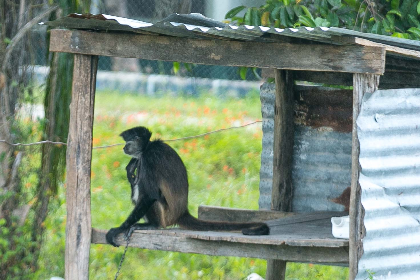 A monkey spotted along the roadway in Costa Maya, Mexico