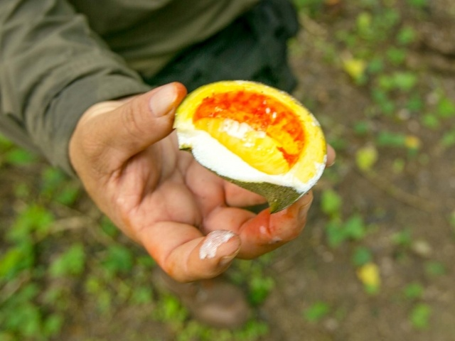Our guide opens a passion fruit at Dzibanche in Mexico