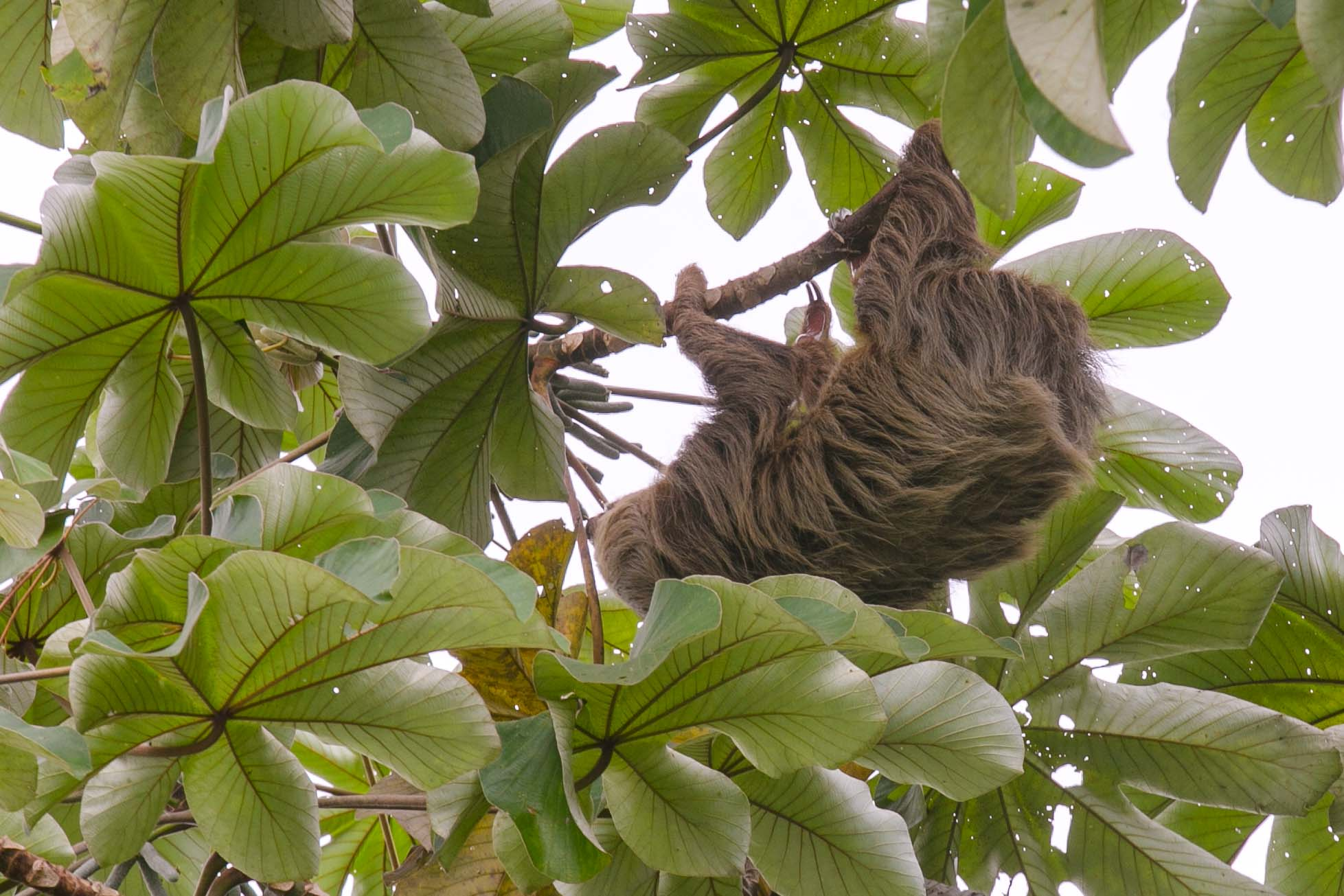 Sloth in Gamboa rainforest of Panama
