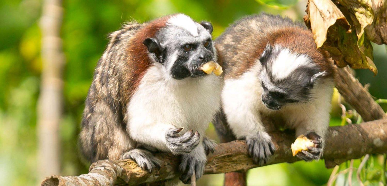 titi monkeys